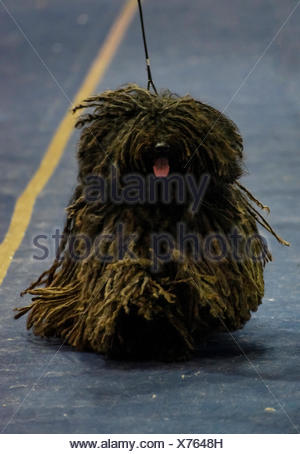 The Puli is a small-medium breed of Hungarian herding and livestock guarding dog known for its long, corded coat. The tight curl - Stock Photo