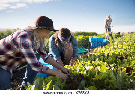 Farmers working in lettuce vegetable crop on sunny farm - Stock Photo