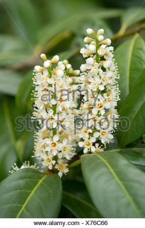 Cherry Laurel or Common Laurel (Prunus laurocerasus, Laurocerasus officinalis) flowers and leaves, ornamental shrub, native to - Stock Photo
