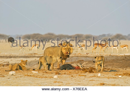 Lion (Panthera leo) with cubs and a captured springbok (Antidorcas marsupialis), Nxai Pan, Makgadikgadi Pans National Park, Bot - Stock Photo
