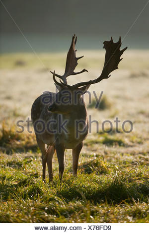 Fallow Deer (Dama dama), buck in the early morning, with backlight, captive, Bavaria, Germany - Stock Photo