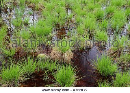 Seggen (Carex) Bannwald, Schutzwald, Waldschutzgebiet, Moorwasser, Pfrunger-Burgweiler Ried, Baden-Wuerttemberg, Deutschland - Stock Photo