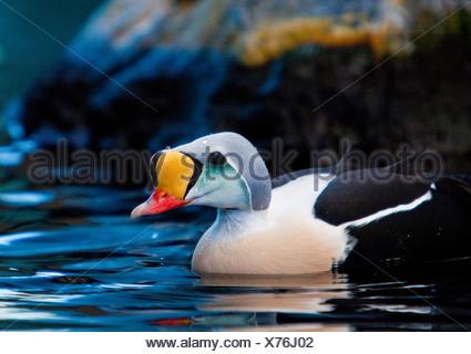 Sealife Center in Seward, Alaska King Eider strutting his colors before mating. - Stock Photo