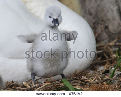 A small little fluffy cygnet. - Stock Photo