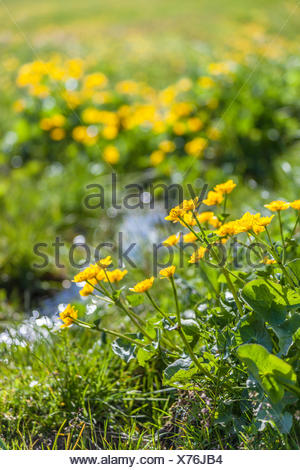 botany, marsh marigold (Caltha Palustris) and little one mountain stream on the Seiser mountain pasture, South Tyrol, Italy, Additional-Rights-Clearance-Info-Not-Available - Stock Photo