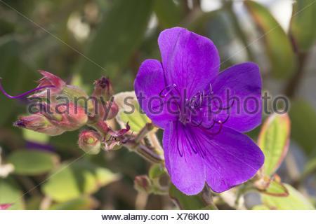 Tibouchina urvilleana, Princess flower, Glory bush - Stock Photo