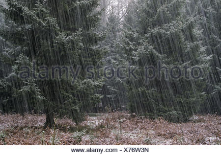 Snowfall in a spruce wood - Stock Photo