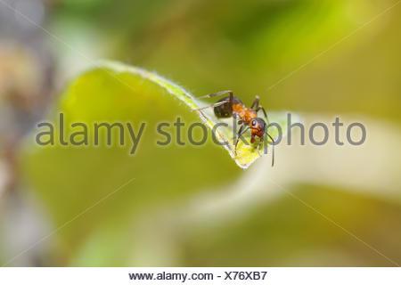 Formica rufa - Stock Photo