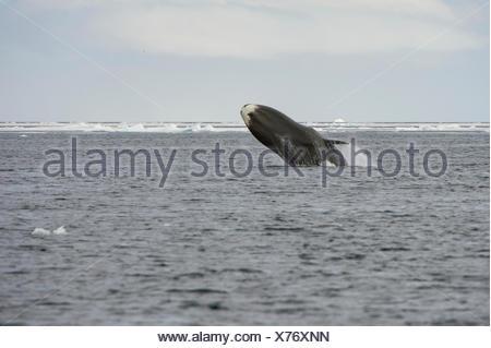 Bowhead whale (Balaena mysticetus) breaching, Canada, Arctic Ocean. - Stock Photo