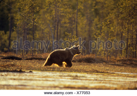 European Brown Bear (Ursus arctos). Adult walking in moorland. Finland - Stock Photo