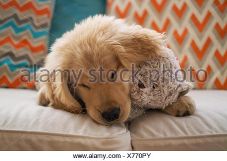 Golden retriever puppy dog lying on sofa with teddy bear