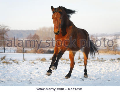 domestic horse (Equus przewalskii f. caballus), Hungarian warmblood, brown, pacing in a snowy paddock, Germany, Baden-Wuerttemberg - Stock Photo