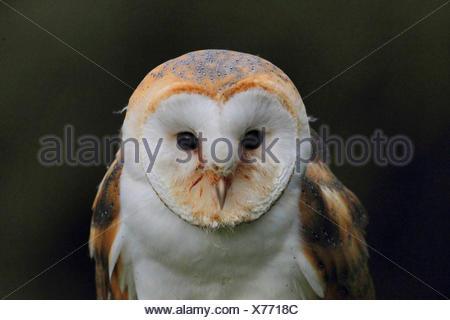 Barn owl (Tyto alba), portrait, front view, Germany - Stock Photo