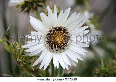 Berkheya cirsiifolia - Stock Photo