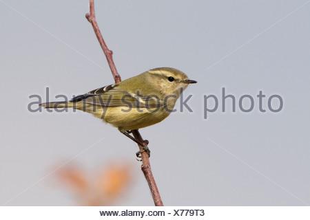 Humes Bladkoning in de top van een boompje; Hume's Leaf Warbler in top of a tree - Stock Photo