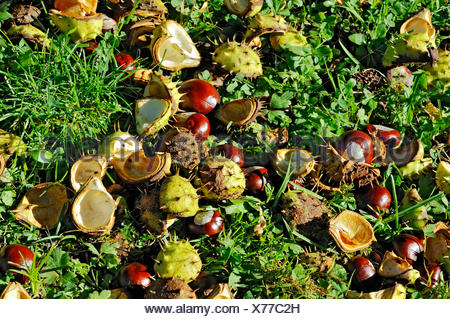 Chestnuts, Horse-chestnut (Aesculus hippocastanum), Bavaria - Stock Photo