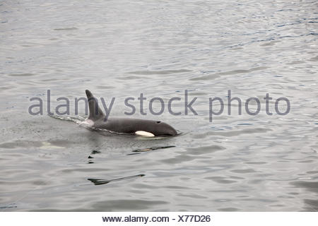 An orca whale and its dorsal fin breach the water. - Stock Photo