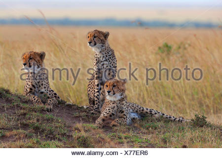cheetah (Acinonyx jubatus), three cheetahs on the lookout in savannah, Kenya, Masai Mara National Park - Stock Photo