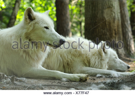 arctic wolf, tundra wolf (Canis lupus albus, Canis lupus arctos), two wolfs lying in a forest - Stock Photo