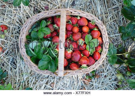 Freshly Picked Strawberries - Stock Photo