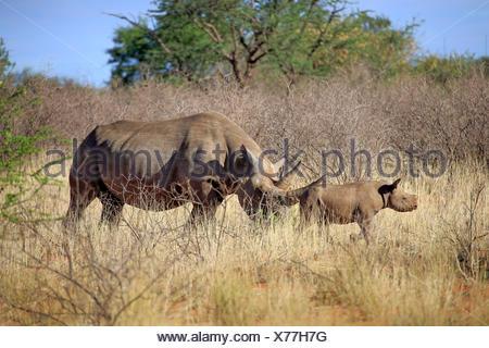Black Rhinoceros, hook-lipped rhinoceros, adult female with young, Tswalu Game Reserve, Kalahari, Northern Cape, South Africa, Africa / (Diceros bicornis) - Stock Photo
