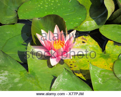 High Angle View Of Lotus Growing On Lake - Stock Photo