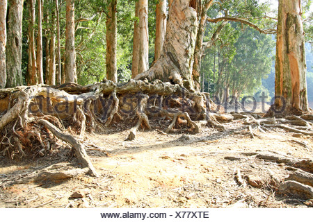 Buttress root on the ground - Stock Photo