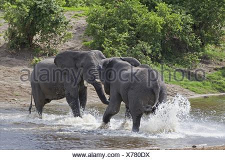African Elephant (Loxodonta africana) two immature males, sparring in water, Savuti River, Savute, Chobe N.P., Botswana - Stock Photo