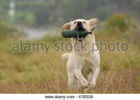 playing Labrador Retriever - Stock Photo