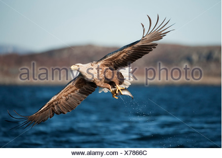 White tailed eagle flying after taking fish from surface of the UK - Stock Photo