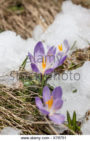 botany, crocus in the snow in the Knuttental, Rein in Taufers, Reintal, South Tyrol, Italy, Additional-Rights-Clearance-Info-Not-Available - Stock Photo