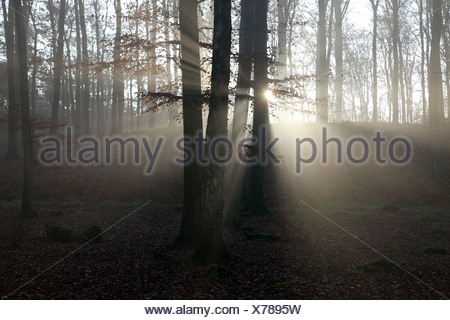 New Kätwin, Germany, raking light in the forest - Stock Photo