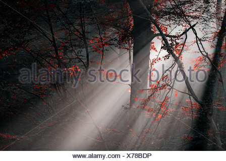 red colors and subeams in the forest - Stock Photo
