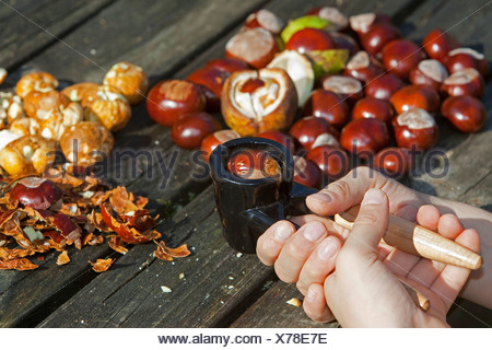 common horse chestnut (Aesculus hippocastanum), making soap from horse chestnuts: child cracking conkers with a nutcracker - Stock Photo