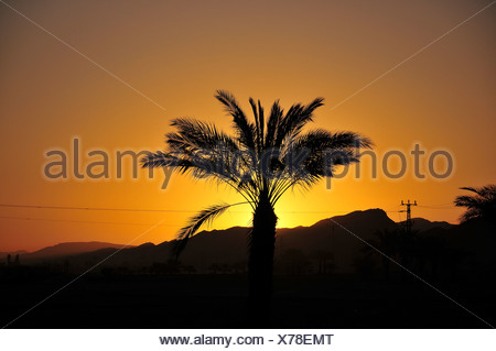 Silhouette of a Palm tree at sunset Photographed at Faran in the Arava desert, Israel - Stock Photo