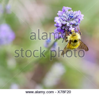 Bee on lavender flower - Stock Photo