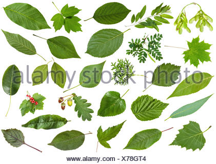 green summer leaves isolated on white - Stock Photo