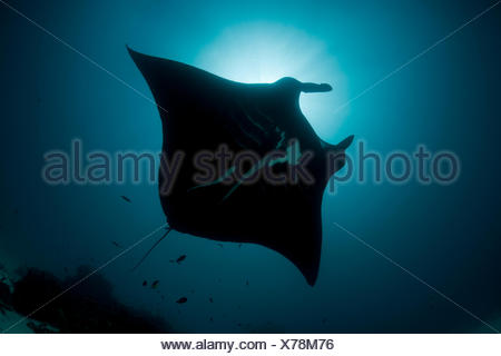 Giant manta ray (Manta birostris) at a cleaning station. North Raja Ampat, West Papua, Indonesia. - Stock Photo