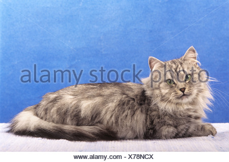 Siberian Forest Cat - lying - cut out - Stock Photo