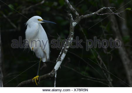 Portrait of a snowy egret perching on a branch. - Stock Photo