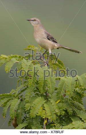 Northern Mockingbird (Mimus polyglottos) perched on a branch in Cuba. - Stock Photo