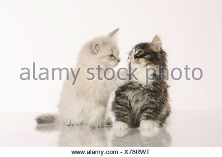 Siberian forest cat - two kittens sitting - cut out - Stock Photo