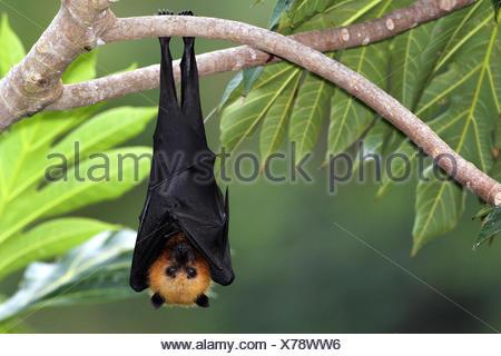seychelles flying fox, seychelles fruit bat (Pteropus seychellensis), hangs down a branch on a tree, Seychelles - Stock Photo