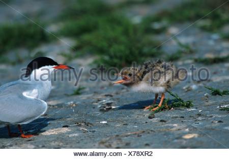 common tern (Sterna hirundo), chicken begging for feed, Netherlands, Texel - Stock Photo