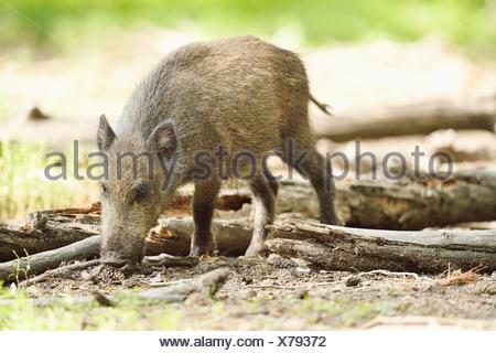 Wild boar in a forest - Stock Photo