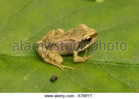 common frog, grass frog (Rana temporaria), exemplar with recently finished metamorphosis sitting on a leaf, Germany - Stock Photo