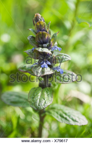 Flower spike of Bugle, Ajuga reptans, with small, two lipped, blue flowers and glossy green foliage. - Stock Photo