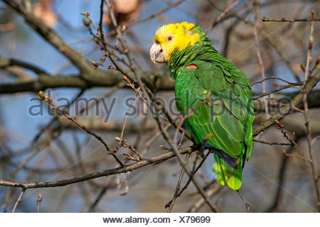 Yellow-headed Amazon (Amazona oratrix), Rosenstein Park, Stuttgart, Baden-Wuerttemberg - Stock Photo