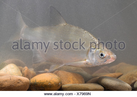 Sneep zwemmend boven de stenen op de bodem; nase swimming above stones at the bottom - Stock Photo