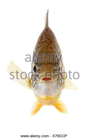 Adult pumpkinseed isolated on white - Stock Photo